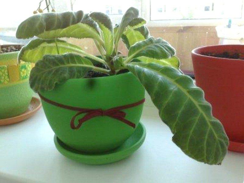 почему у комнатных растений скручиваются листья