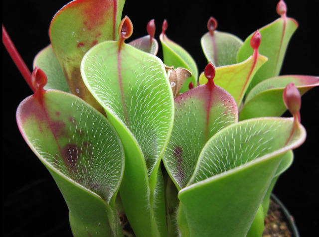 Гелиамфора - растение-хищник