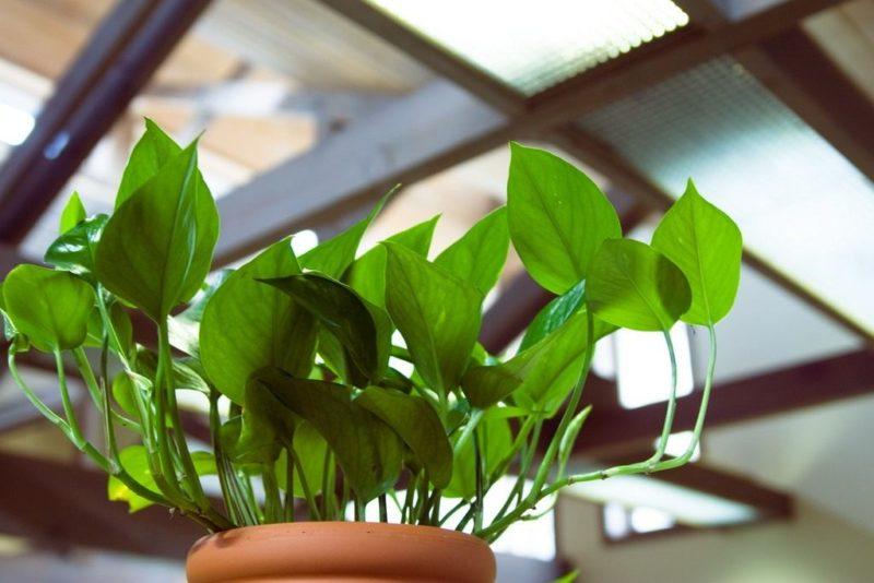 комнатные растения не требовательные к освещению