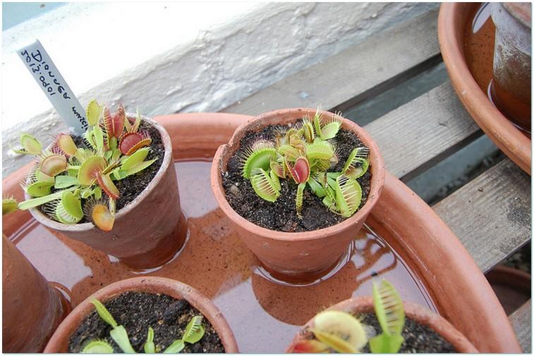 Домашние растения хищники