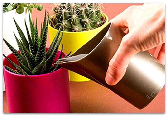 кактусы уход в домашних условиях фото как поливать