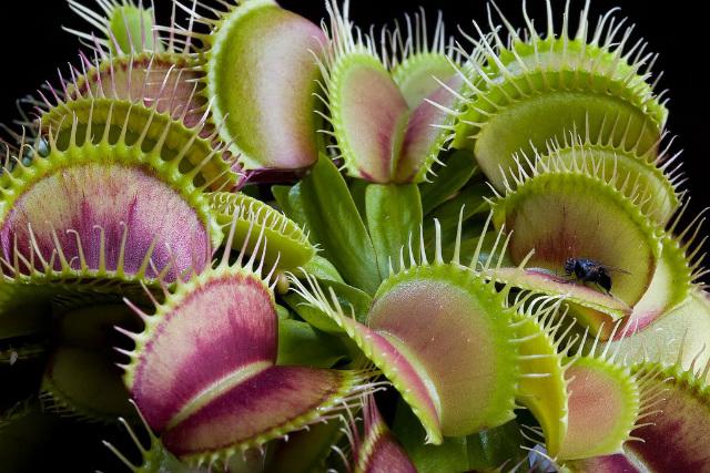 растение-хищник венерина мухоловка