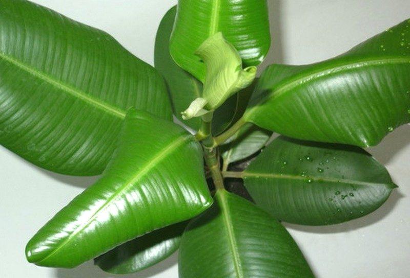 почему желтеют и скручиваются листья у комнатных растений