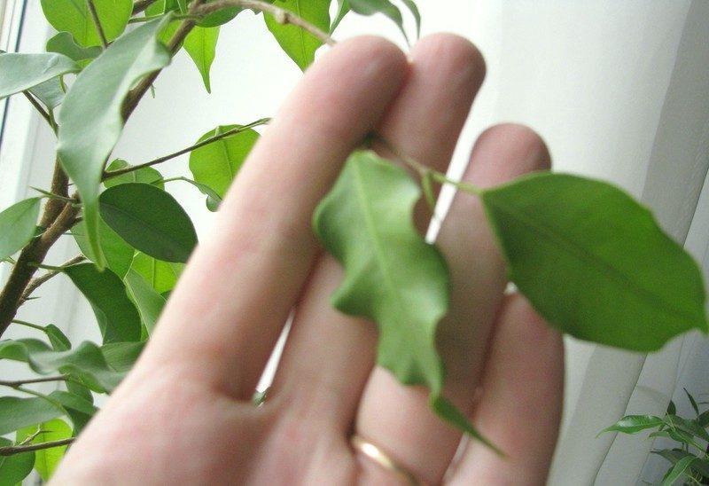 почему скручиваются листья у комнатного растения