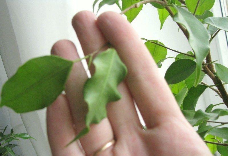 почему листья у комнатного растения скручиваются листья
