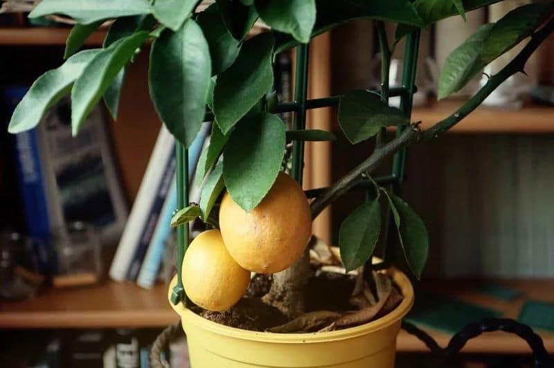 Пересадка лимончика в горшок
