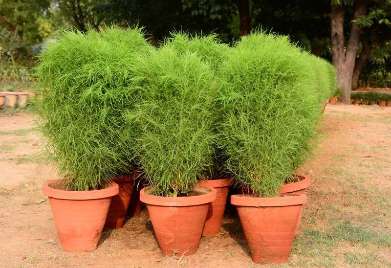 благоприятными являются кохия фото выращивание каркасные