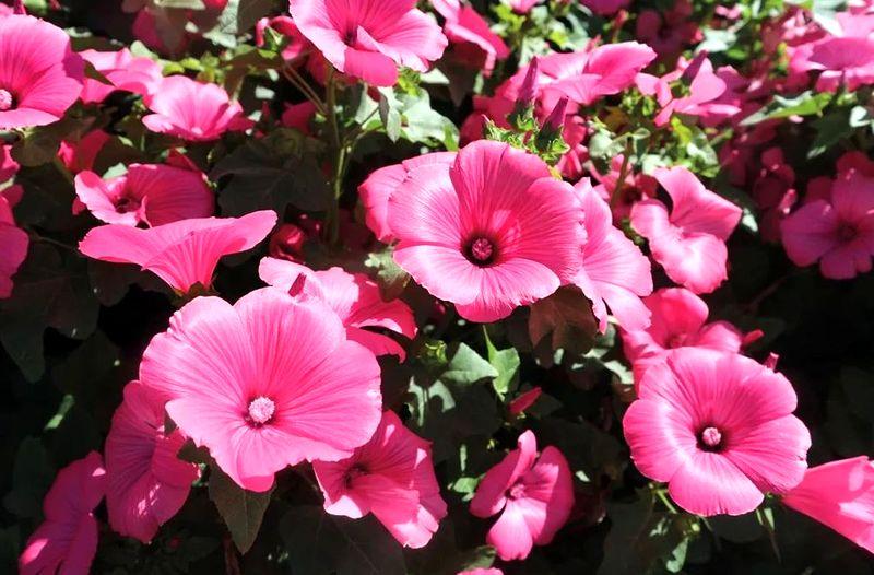 Лаватера цветок
