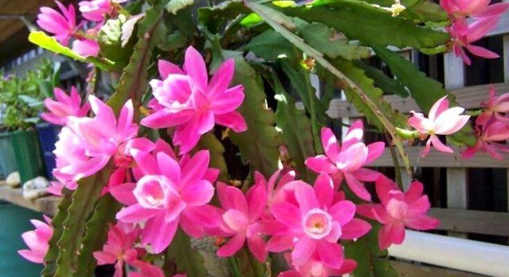 Аканторипсалис кактус