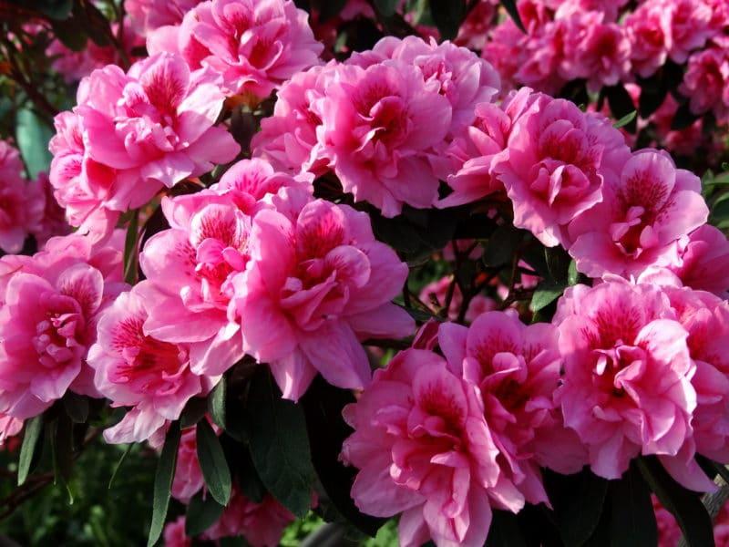 Азалия - фото, уход, размножение, цветение и пересадка
