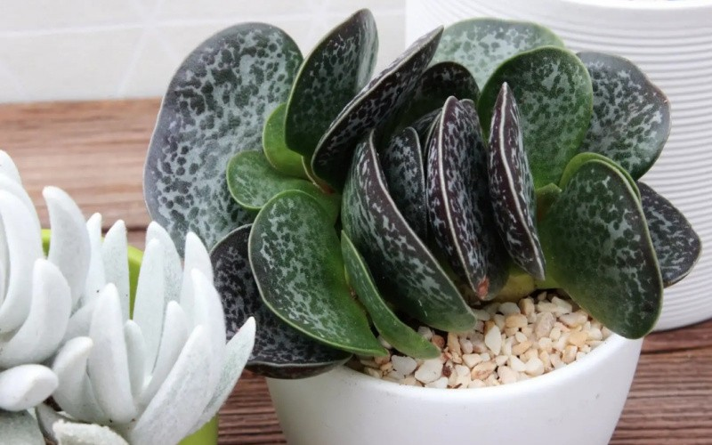 Адромискус: комнатные растения