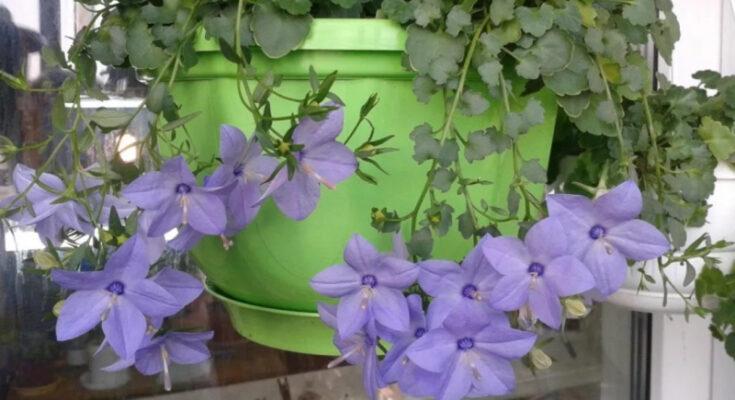цветы азистазия