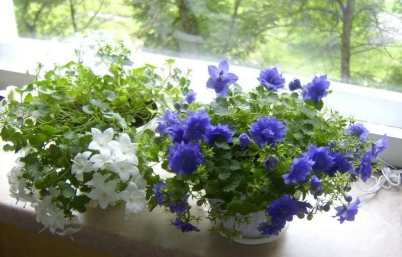 комнатный цветок азистазия