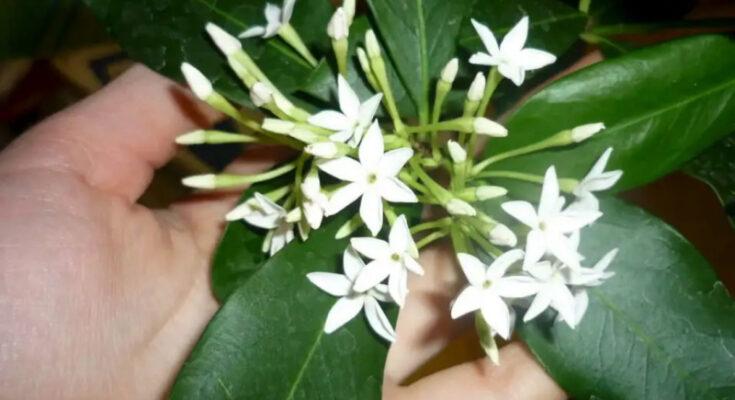 Акокантера цветок