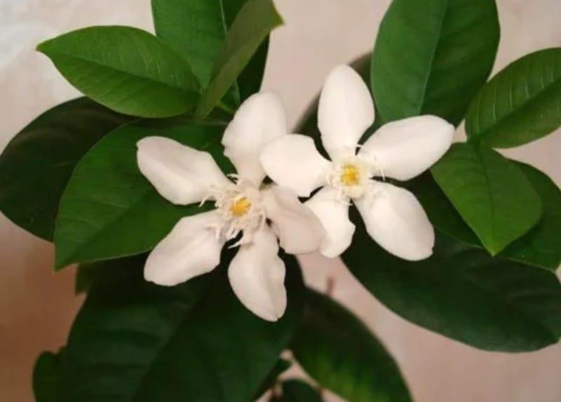 Акокантера: уход и выращивание
