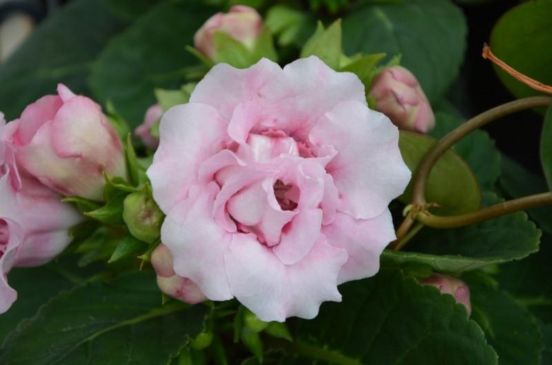 Глоксиния цветок