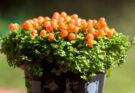 Нертера растение