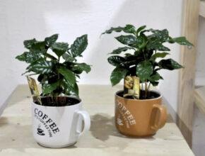 Цветок Кофе