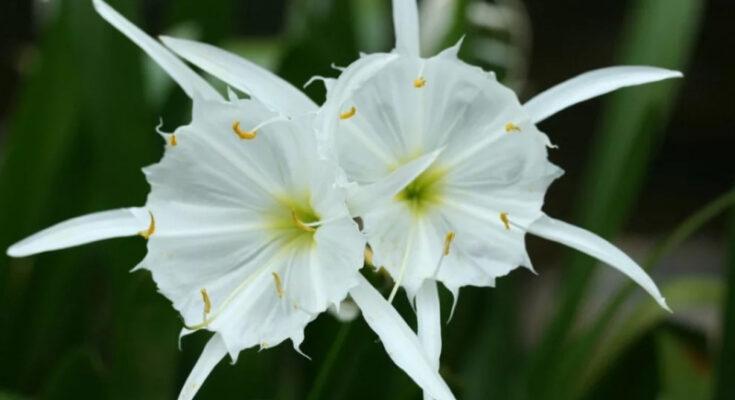 Гименокаллис цветение