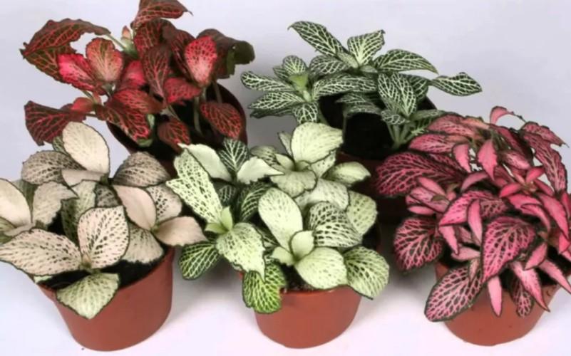 Геогенантус растение