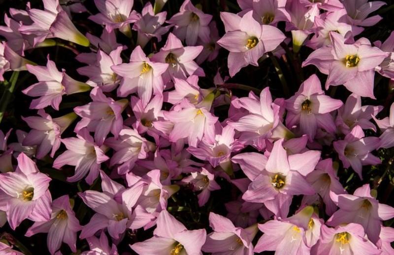 Зефирантес растение