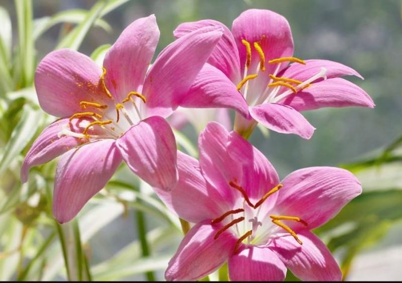 Зефирантес цветок