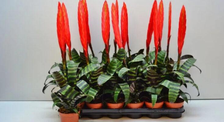Вриезия растение