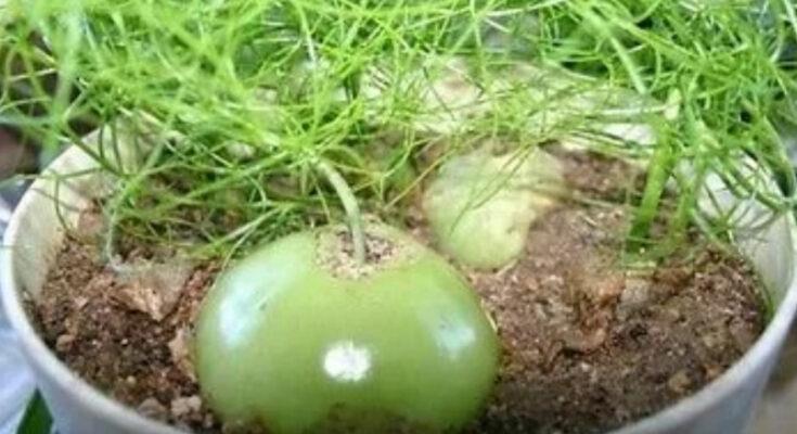 Бовея растение