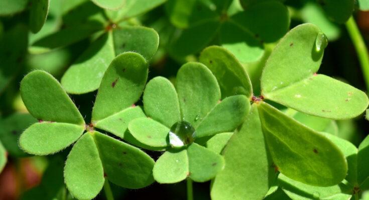Кислица растение