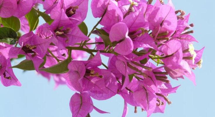 Бугенвилиия цветок
