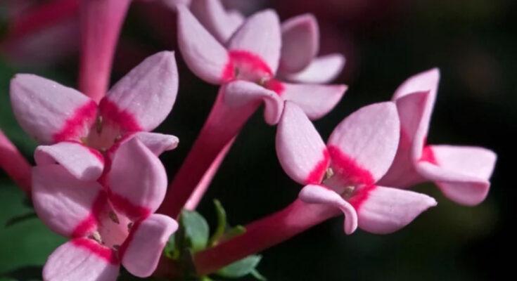 Бувардия цветок