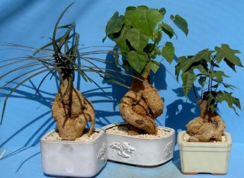 Брахихитон растение