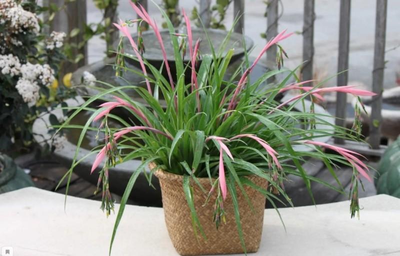 Бильбергия растение