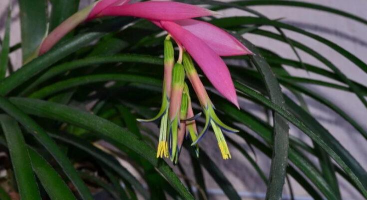 Бильбергия цветы