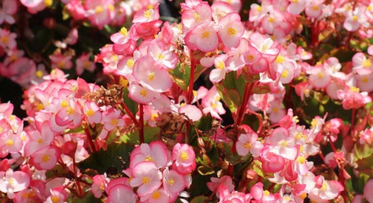 Бегония цветы