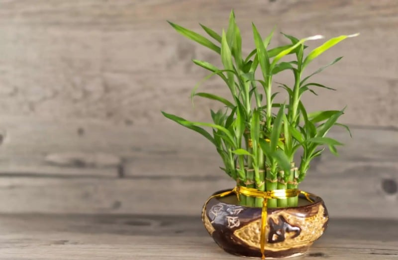 Бамбук комнатное растение