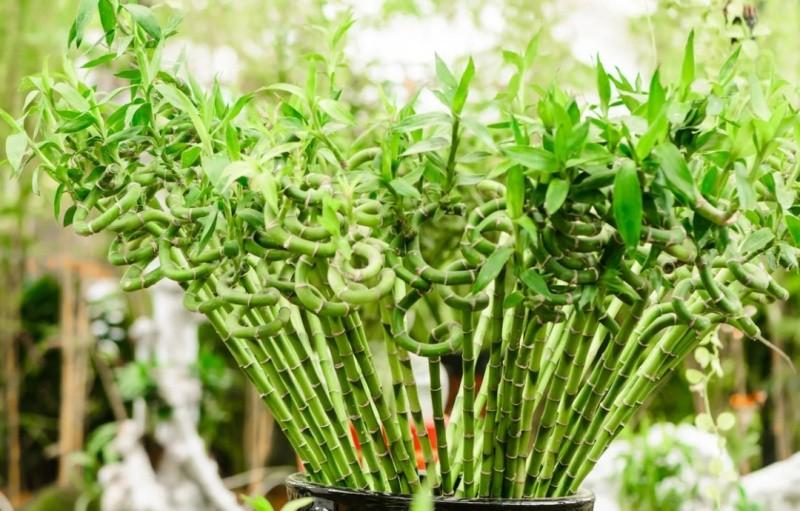 Бамбук фото