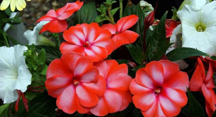 Бальзаминкомнатный цветок