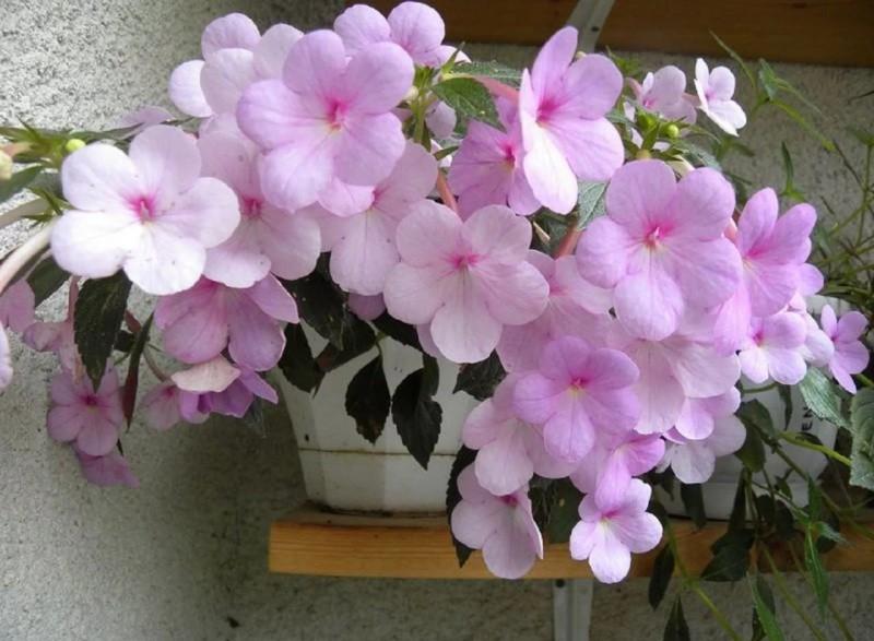 Ахименес цветок