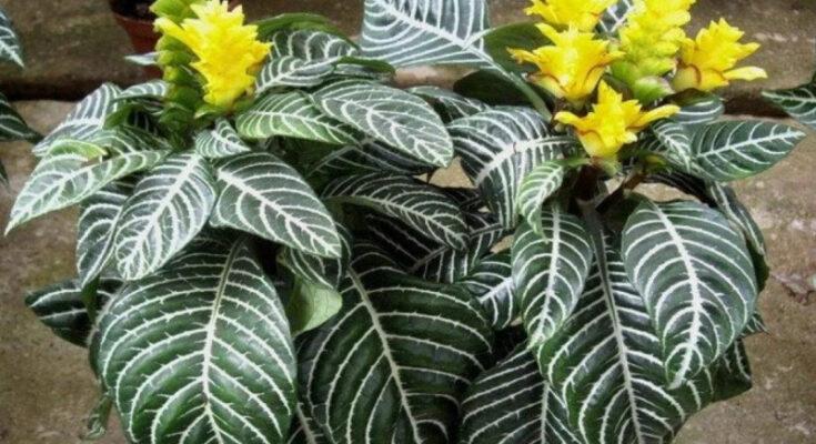Афеландра комнатное растение