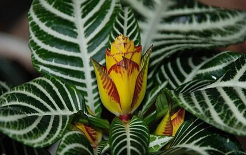 Афеландра цветок