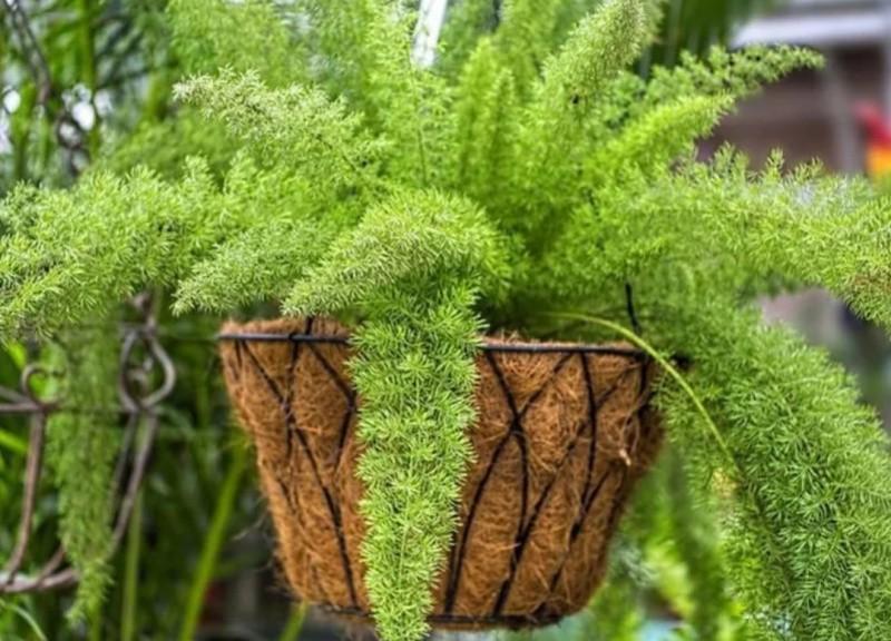 Аспарагус комнатное растение