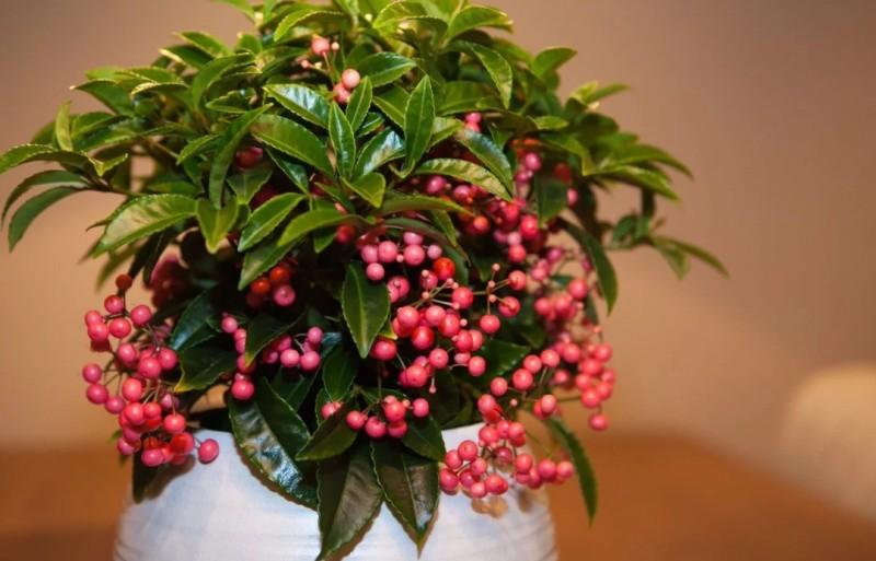 Ардзия растение
