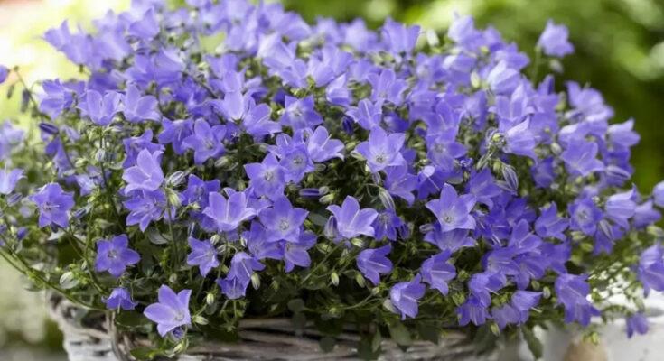 Кампанула цветы
