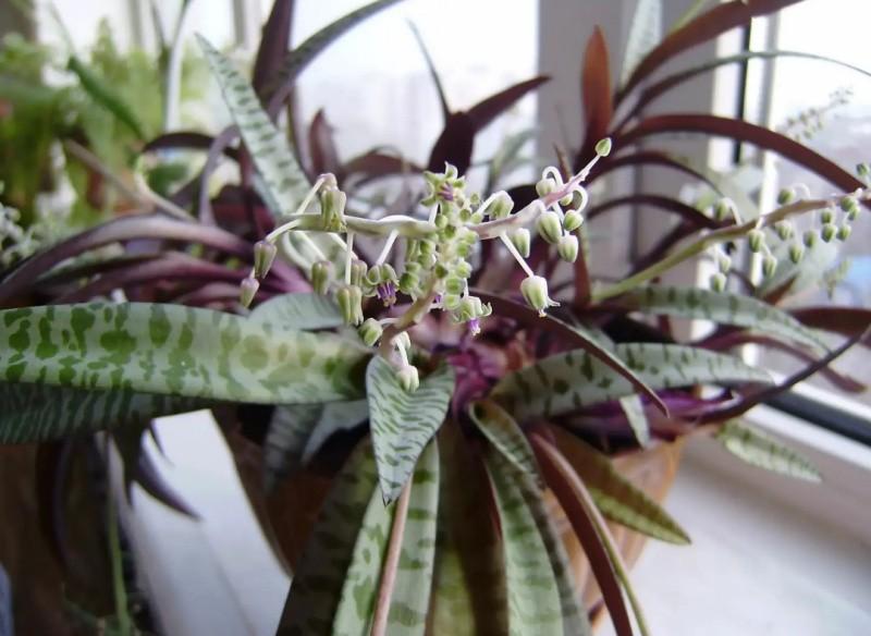 ледебурия цветок