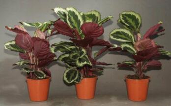 Калатея фото растения