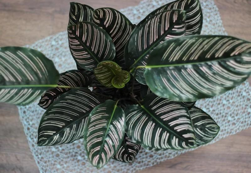 Калатея растение