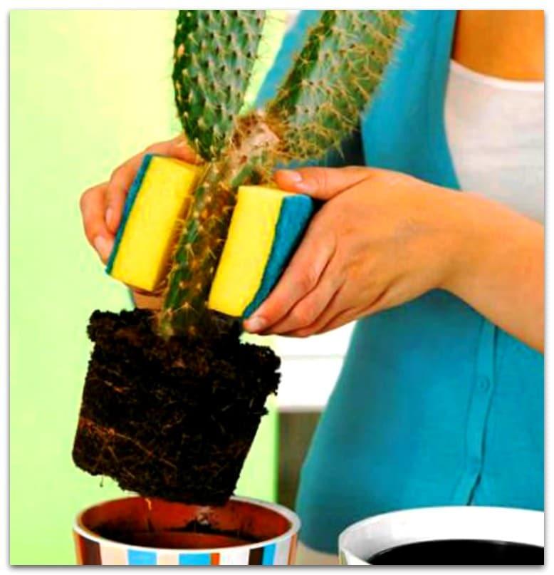 пересадка кактусы уход в домашних условиях фото