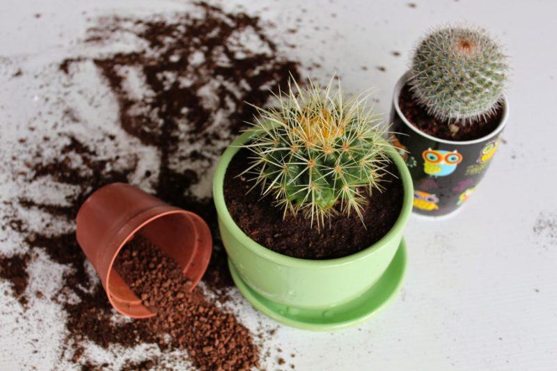 Как пересадить кактус. Пересадка кактусов
