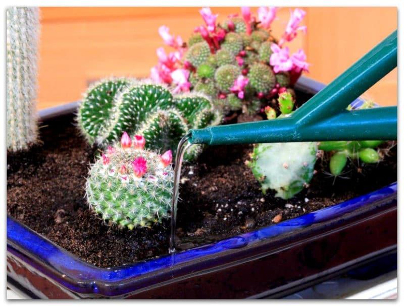 правильный полив кактусов после пересадки